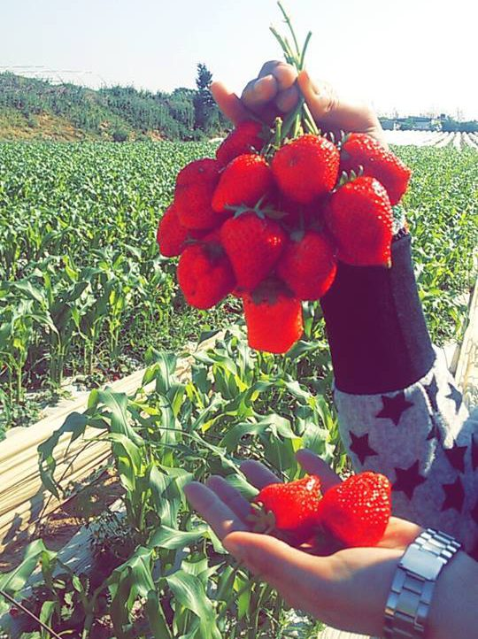 Strawberry Power of Life | Salsabeel, Gaza